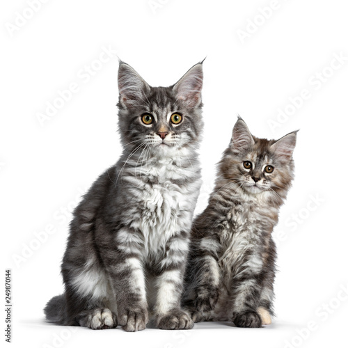 Duo of two cute blue tabby and tortie Maine Coon cat kittens