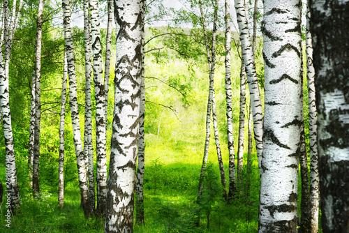 Bosquet de bouleaux summer in sunny birch forest