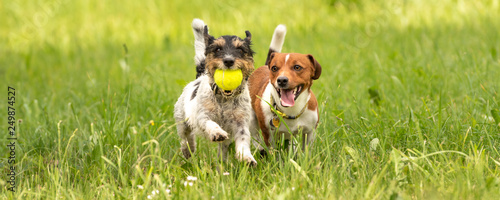 Obraz Two small Jack Russell Terrier dogs are running and playing togehter in the meadow with a ball - fototapety do salonu