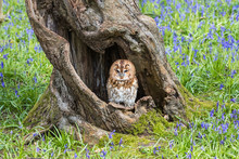 Tawny Owl In The Bluebells