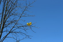Two Yellow-gold Balls Entangled In The Branches Of A Tree. They Look Beautiful Against A Bright Blue Spring Sky.