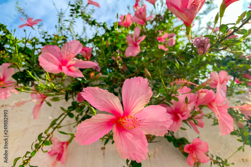 Pink Hibiscus Tree Closeup Buy This Stock Photo And Explore