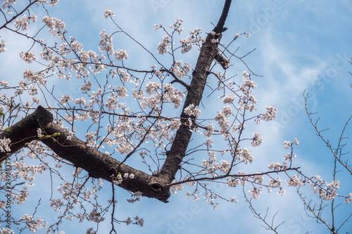 Photo  Cherry Blossom in Tokyo