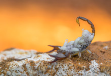 Small Harmless Scorpion Euscorpius Sp. With Offspring In Croatia