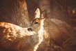 Roe deer portrait on brown wooden background