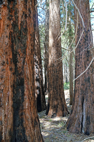 Poster de jardin Parc Naturel Sequoia