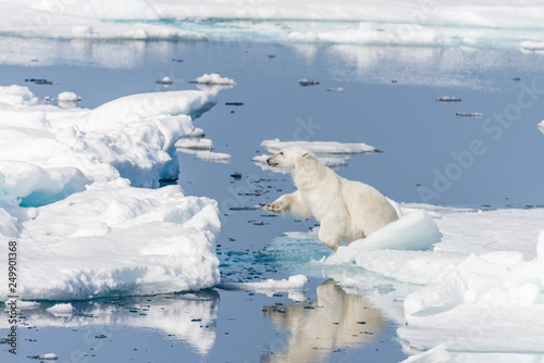 Deurstickers Ijsbeer Wild polar bear jumping across ice floes north of Svalbard Arctic Norway
