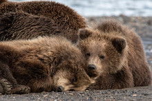 Brown Bear Cubs Napping With Mom;  Alaska