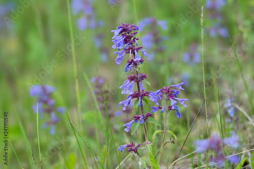 Photo  Medicative herb of broad-leaved sage (Latin Salvia officinalis) grows in a green meadow