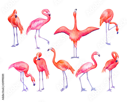 Photo Stands Flamingo Set of tropical pink flamingos bird (flame-colored) in different poses. Hand drawn watercolor painting illustration isolated on white background.