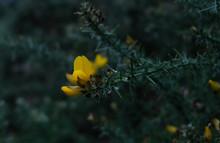 Gorse In Flower