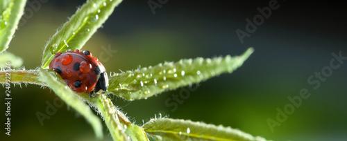 Obraz red ladybug on green leaf, ladybird creeps on stem of plant in spring in garden summer - fototapety do salonu