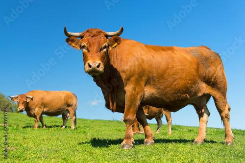 French landscape with brown cows Poster Mural XXL