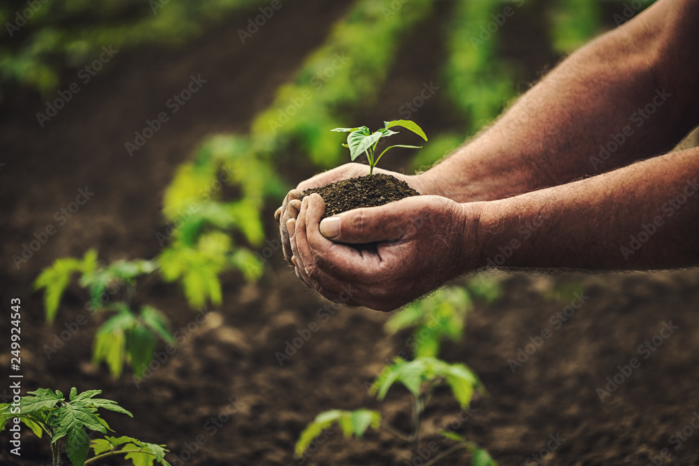 Fototapety, obrazy: Farmer holding pepper plant in hands on field, homegrown organic vegetables