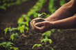 canvas print picture - Farmer holding pepper plant in hands on field, homegrown organic vegetables