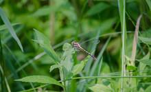 Pronghorn Clubtail Dragonfly O...