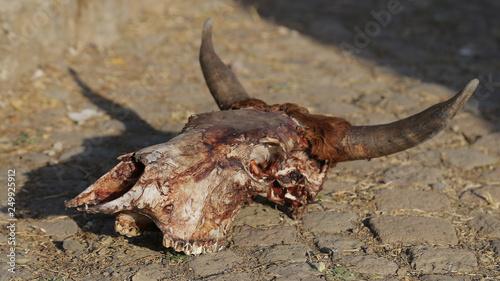 Craneo de vaca en Lalibela, Etiopía Canvas Print