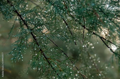 Wall Murals Forest sprig of coniferous tree with silver rain droplets