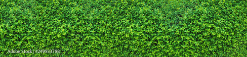 mata magnetyczna A thick spring hedge, a spring decorative motif. Panorama of the green wall consisting of thousands of small leaves.