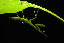 Immature Mantid, Resting For The Night On Underside Of Leaf, South Mountains Camp Ground, NC