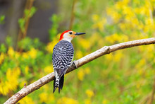 Male Redbellied Woodpecker Per...