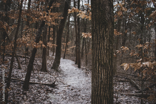 Forest tree in focus with snow-covered trail in soft blurred background