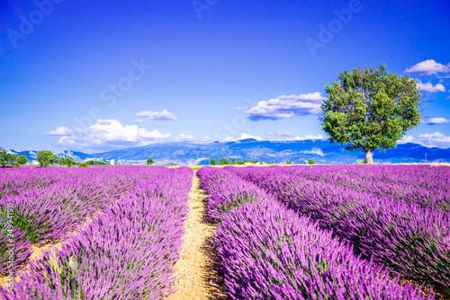 Foto op Canvas Lavendel Valensole lavender field, Provence, France.