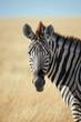 Beautiful portrait of a zebra