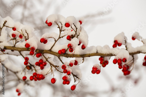 Fotografie, Obraz  Crataegus, commonly called hawthorn, quickthorn, thornapple, May-tree,  whitethorn, or hawberry