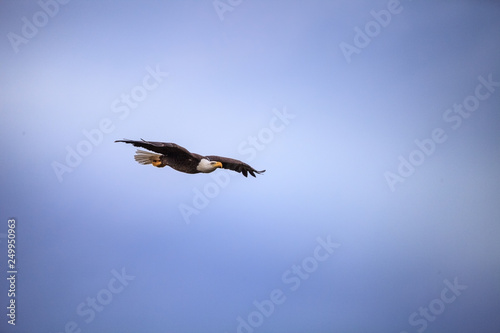 Fotografie, Obraz  Flying Adult bald eagle Haliaeetus leucocephalus flies near his nest on Marco Is