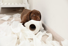 Cute Chocolate Labrador Retriever Puppy And Torn Paper On Floor Indoors
