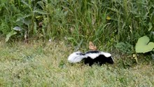 Adorable Cute Baby Skunk Lost In The City Green Area And Looking For His Mother.