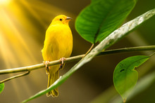 Singe Yellow Bird On Tree Branch With Sun Rays