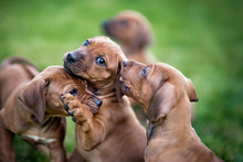 Rhodesian Ridgeback Puppies Playing On Green Grass