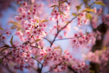 Prunus Cerasoides,  Wild Himalayan Cherry