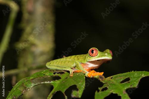 Foto op Plexiglas Kikker Agalychnis saltator - Parachuting red-eyed leaf frog