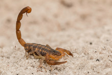 Florida Striped Scorpion - Cen...