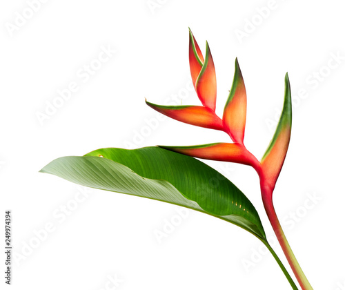 Heliconia bihai (Red palulu) flower with leaf, Tropical flowers isolated on white background, with clipping path  - 249974394