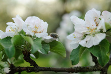 A Blooming Branch Of Apple Tre...