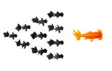 Group Of Small Black Goldfish Following Goldfish The Leader Isolated On White Background Showing Leader Individuality Success Or Motivation Concept. Business Concept. Animal. Pet.