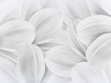 Floral White Background. Petals Of White Daisy Close Up.   Flower Composition.  Nature.