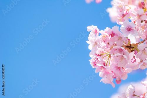 Aluminium Prints Blue sky 青空背景の明るく華やかな印象の桜の花