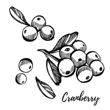 Hand Drawn Sketch Style Cranberry Illustrations Isolated On White Background. Fresh Food Illustration.