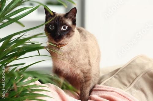 Foto  Cute funny Thai cat at home