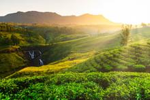 Tea Plantation And St Claire W...