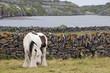 Tinker Pferd - Inish Oirr - Irland