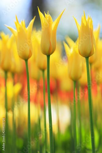 Photo  Spring in Amsterdam. Vivid tulip flowers in garden