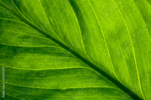 fototapeta na ścianę Abstract green striped nature background, vintage tone. green textured leaf of the plant. natural eco background.