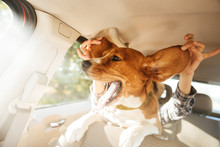 Image Of Woman Playing Around With Her Funny Pedigree Puppy, While Riding In Car