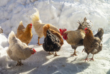 Cock With Hen On Farm In Winter